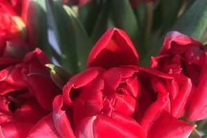 Closeup on red tulips