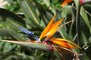 bird of paradise flower
