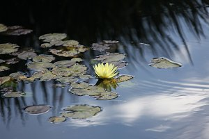 water lily blooming