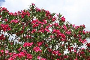 pink oleander blossoms