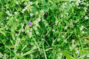 Above fresh white clover flowers in the summer field, beautiful natural floral background. Green lush grass meadow with soft blooming flowers in outdoor rural landscape. Nature and ecology concept