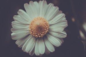 daisy detail