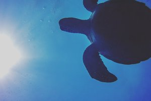 Turtle swimming close to surface