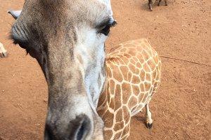 Closeup on a friendly giraffe