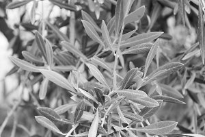 Olive Tree Branch Black and White