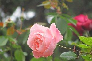 Closeup on a pink rose