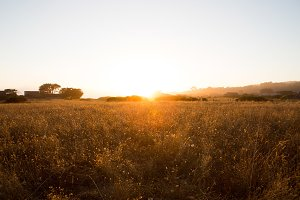 California Wheat Field at Sunset