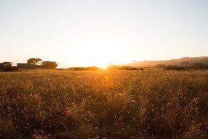 California Wheat Field at Sunset