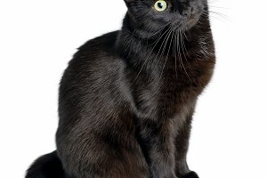 Studio portrait of young black cat