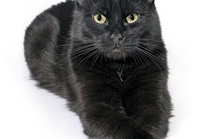 Black cat lies on a white background
