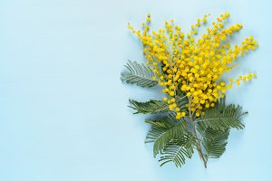 Mimosa flowers on blue table