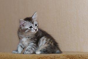 Nice gray kitten