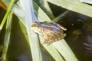 Frog in the river sits on a plant