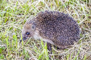 Hedgehog in the grass barbed.