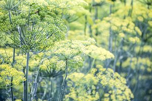 Blossoming dill. Fennel beds. greens