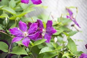 Clematis flowers on a brick wall