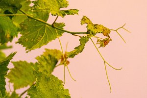 A branch of grapes on a pink
