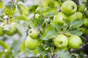 Green apples on a branch.