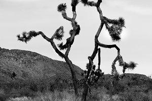 Joshua Tree Black and White.