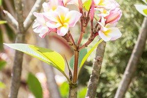 Plumeria frangipani flowers