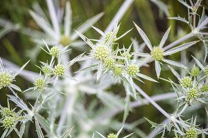 Spiny wildflowers. Thistle. prickly