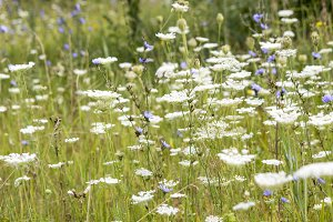 Wildflowers. Summer field.