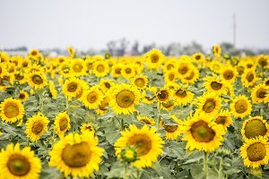 Field with sunflowers.