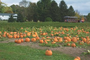 Pumpkin Patch on a New England Farm
