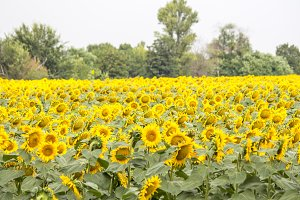 Field with sunflowers. Young sunflow