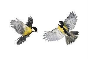две птицы синицы на белом фоне