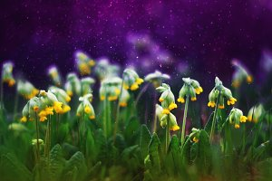 цветы примулы на лугу