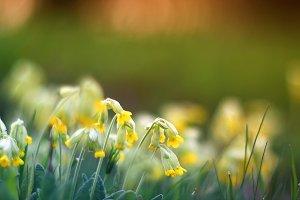 цветы первоцветы на лугу