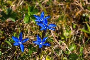 Beautiful gentian flowers