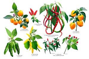 Capsicum Plants