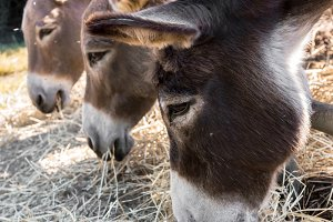 Donkeys eating hay
