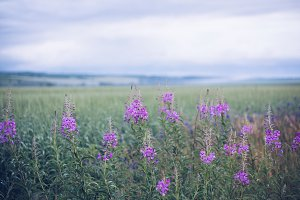 Ivan-tea blooming in the field