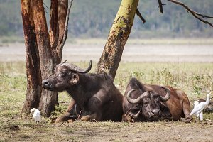 Buffalo resting