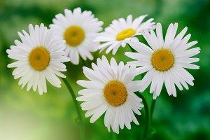 white chamomile bouquet in nature
