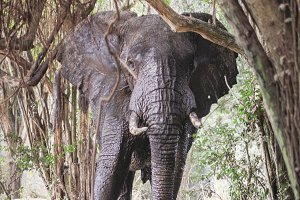Elephant hiding in the trees