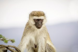 Vervet monkey resting in tree
