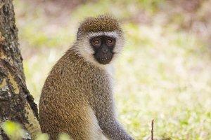 Vervet monkey resting on tree
