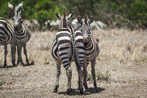Zebra in midday sun