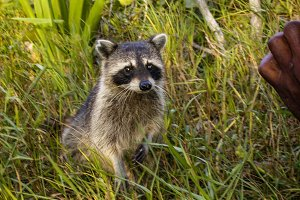 Cute little raccoon in the grass