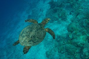 Turtle flying over the coral reef