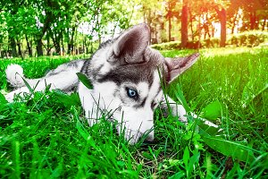 Husky. home dog. a little puppy for