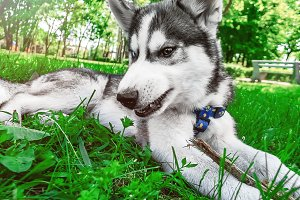 dog. husky of disagreements. young d