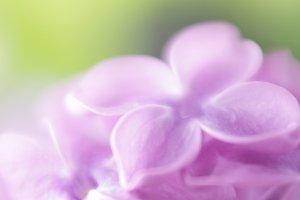 Soft focus lilac flower