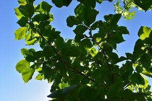 Camilia Leaves Backlit