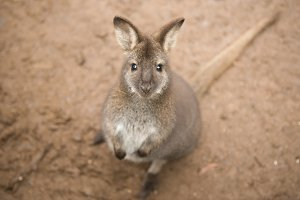Wallaby outside by itself