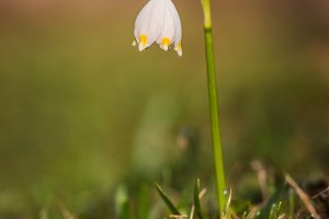 Leucojum vernum flower in spring